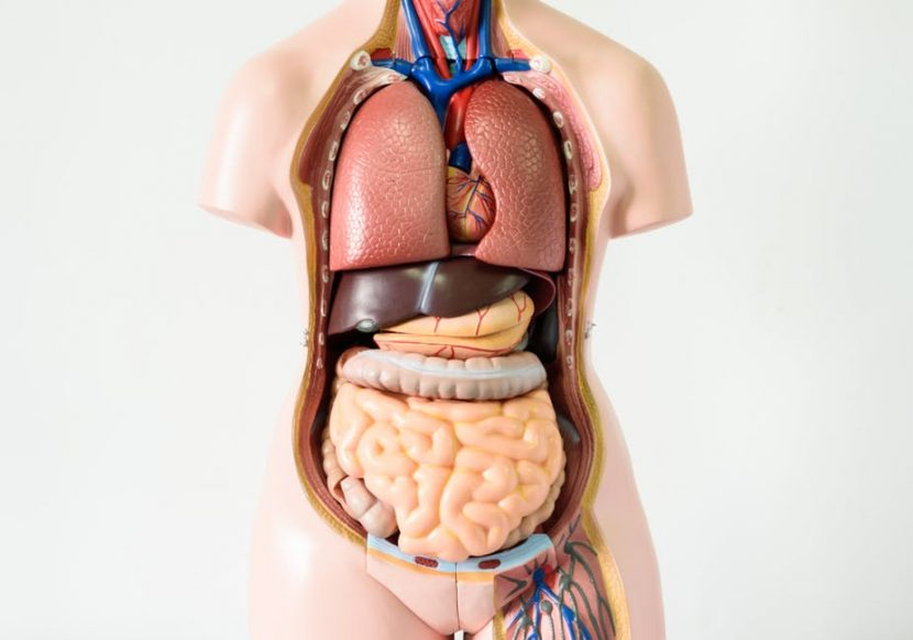 file 20171005 9767 cuvhjn 1 830x582 - Tips To Keep Your Organs Clean